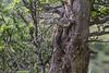 Picoides lignarius
