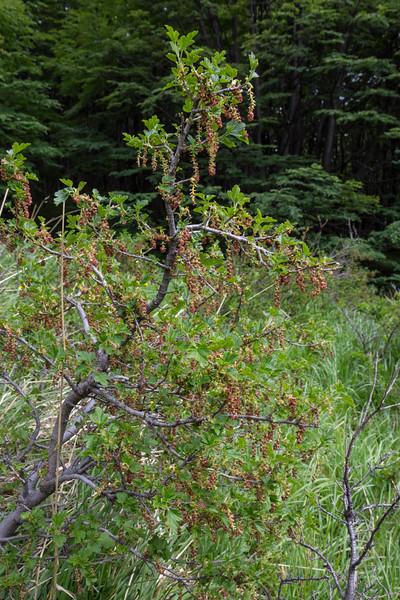 Ribes magellanicum