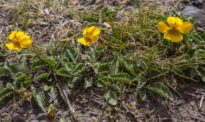 Viola maculata