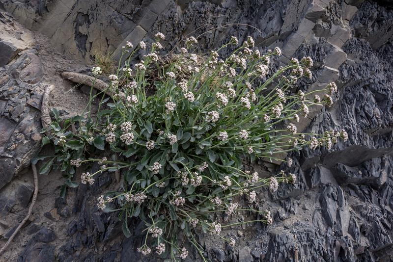 Valeriana carnosa