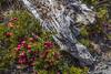 Gaultheria myrtilloides