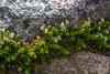 Gaultheria pumila