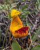 Calceolaria uniflora X Calceolaria polyrhiza