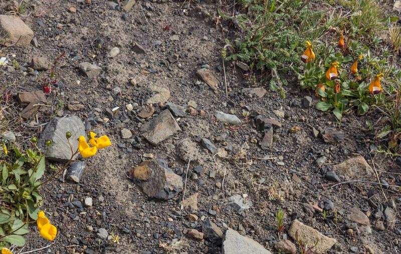 Calceolaria polyrhiza and Calceolaria uniflora