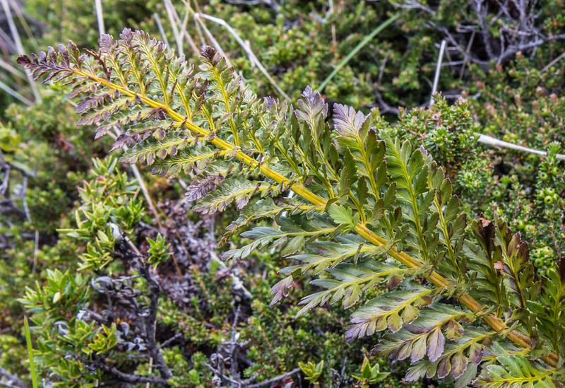 Polystichum plicatum