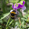 Bombus terrestris on Lathyrus magellanicus
