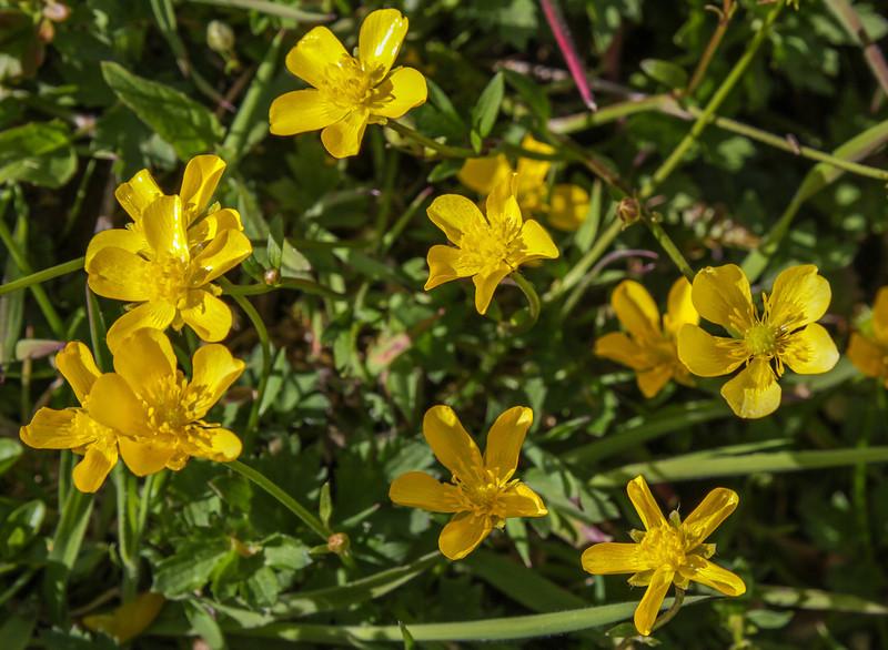 Ranunculus spec