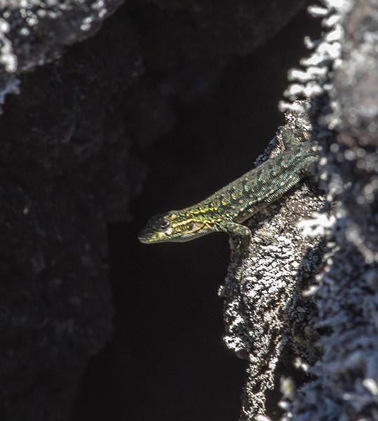 Liolaemus pictus, male