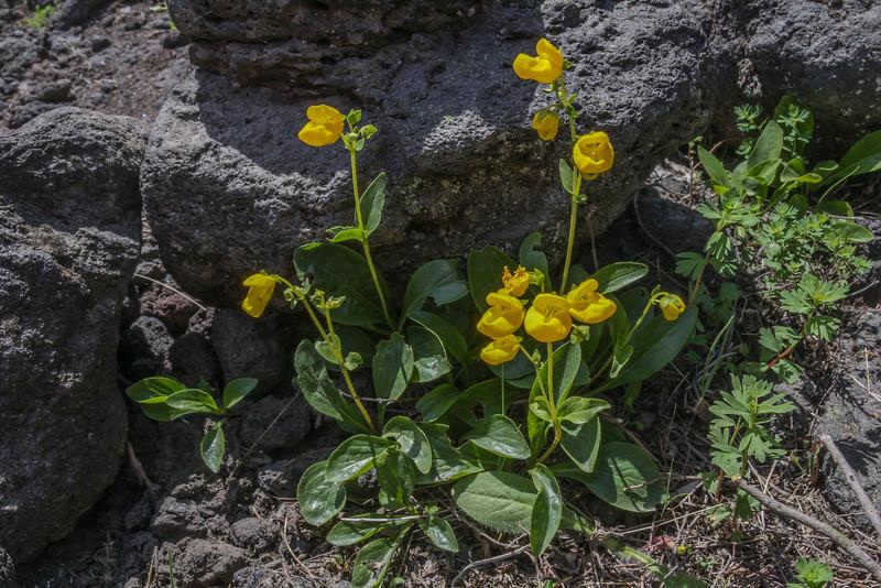 Calceolaria spec?