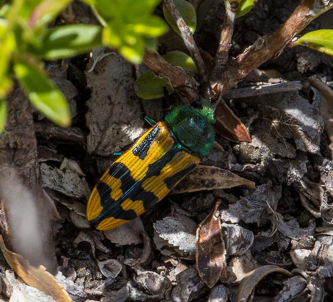 Conognatha viridiventris
