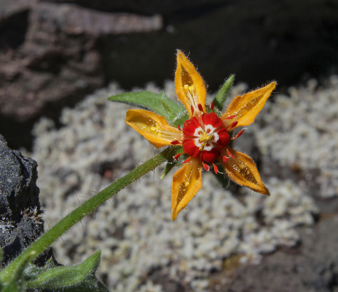 Blumenbachia spec