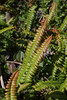 Blechnum penna-marina