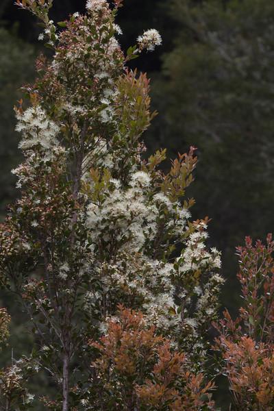Amomyrtus luma
