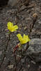 Oenothera magellanica