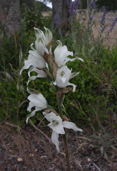 Chloraea virescens (Willd.) Lindl.