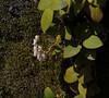 Gaultheria insana