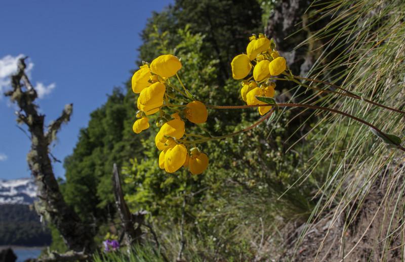 Calceolaria tenella?????