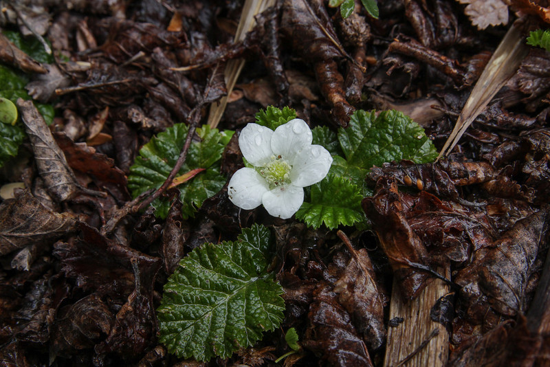 Rubus geoides