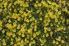 Calceolaria tenella