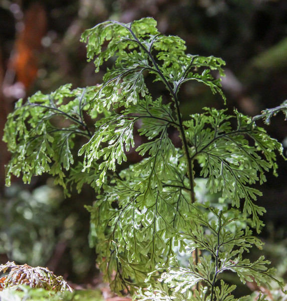 Hymenophyllum cf. tortuosum