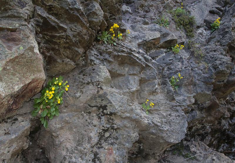 Calceolaria spec.?