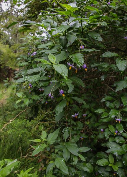 Solanum spec 8