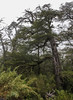 Nothofagus forest