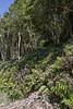 Fern habitat with Gleichenia quadripartita