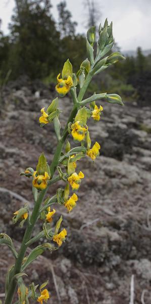 Chloraea parviflora