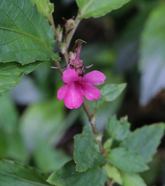 Viola rubella