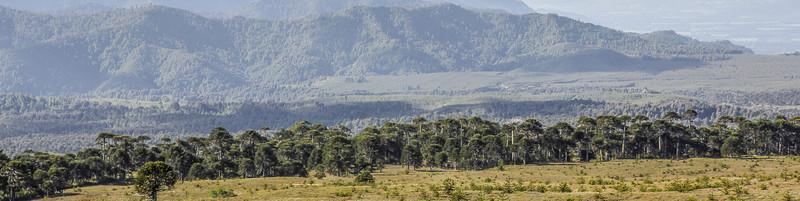Forests of Araucaria araucana