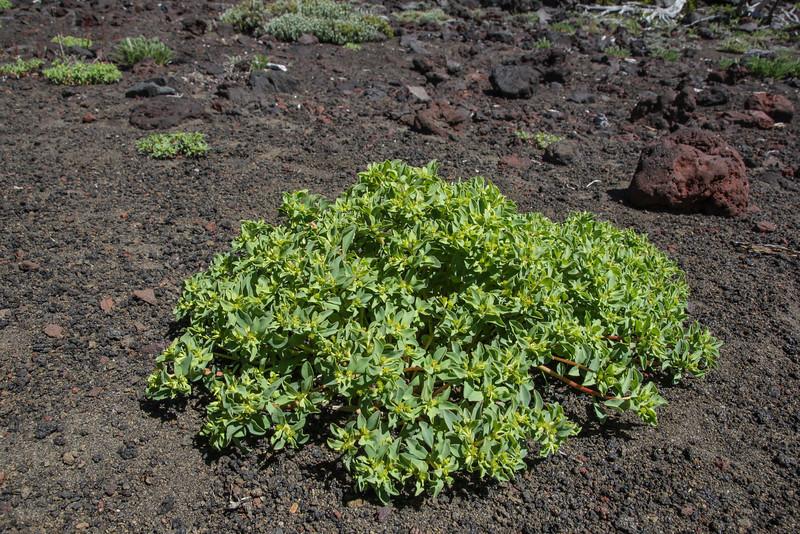 Euphorbia collina