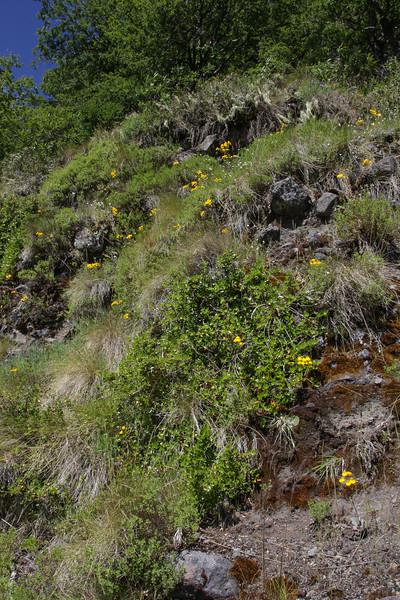 Calceolaria ? behaard blad