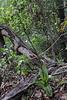 Gavilea araucana (R.A. Philippi)