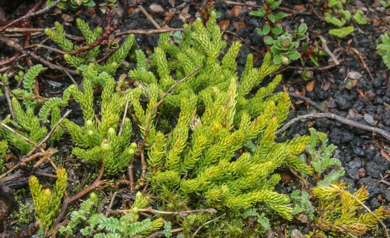 Lycopodium alboffii