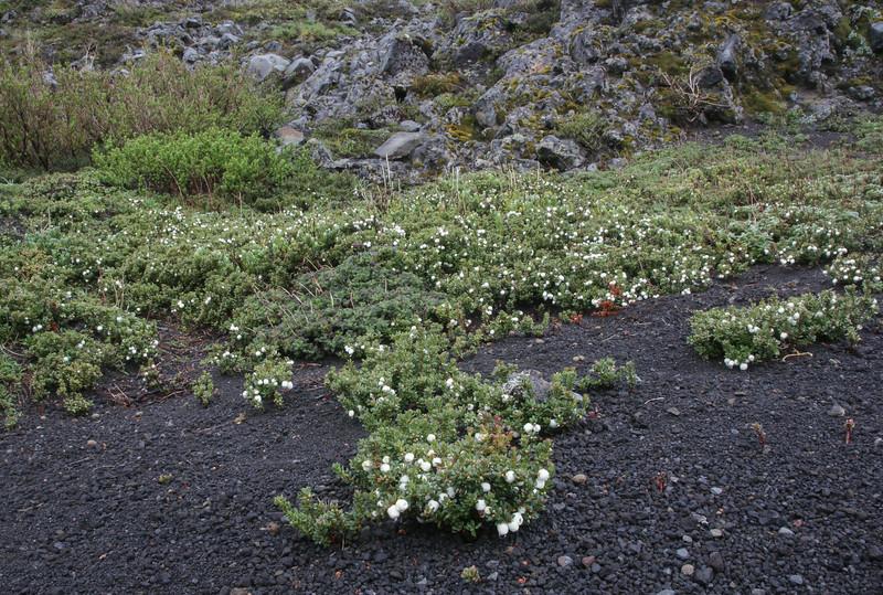 Gaultheria pumila (white form)