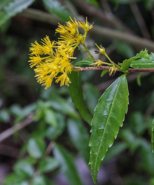 Azara lanceolata