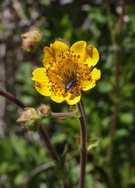 Geum magellanicum