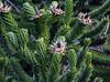 Araucaria araucana after blooming