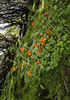 Mimulus cupreus