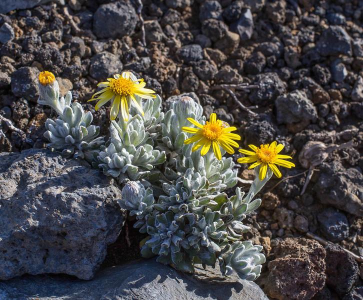 Senecio poeppigii var. poeppigii or Senecio argyreus