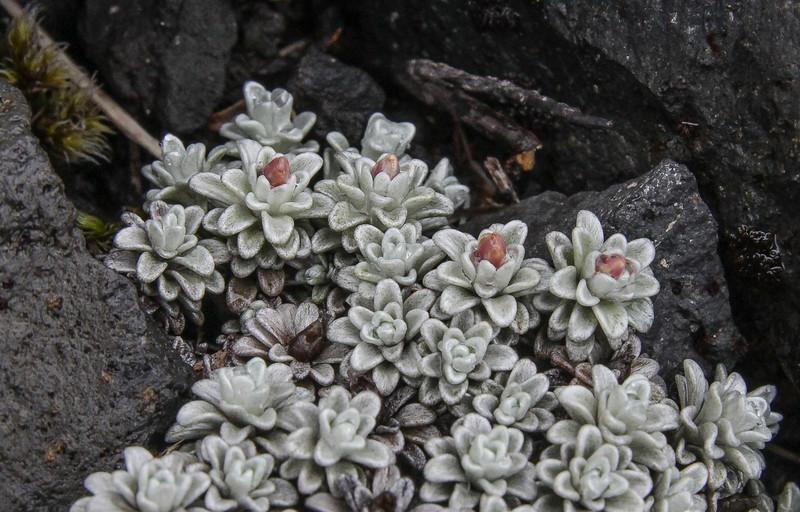 Belloa chilensis