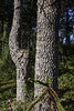 Trunk of Araucaria araucana