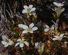 Saxifraga magellanica