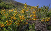 Berberis montana