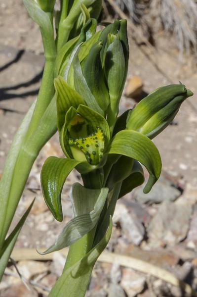 Chloraea viridiflora (Poeppig)