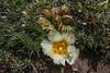 Maihuenia poeppigii, crested or faciated form