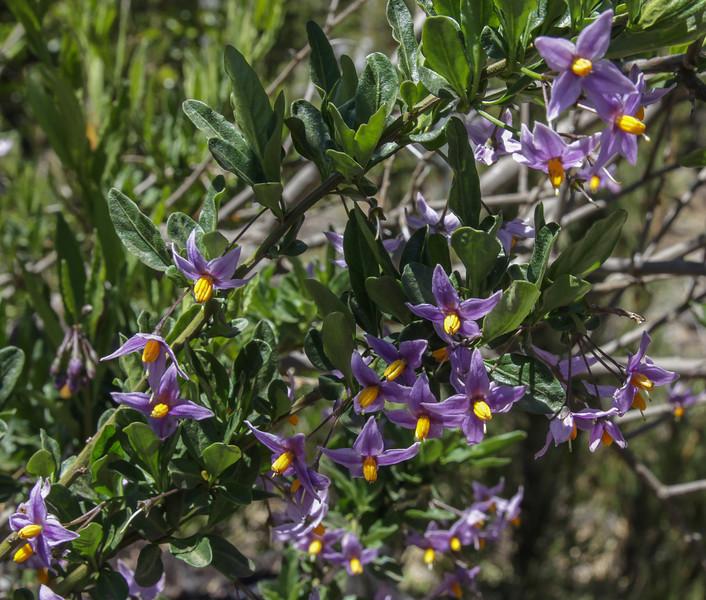Solanum spec