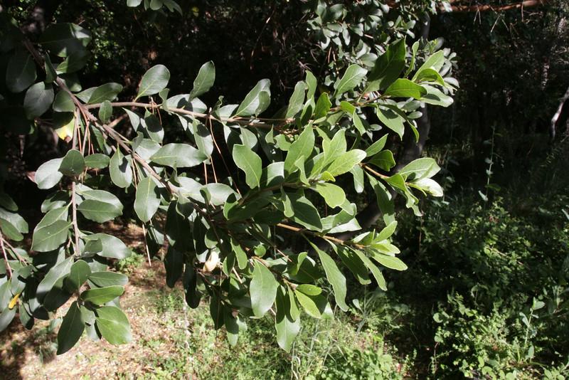 Luma apiculata