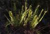 NOT: Polystichum plicatum